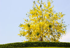 Tree. Yelow flower on tree in park Royalty Free Stock Photography