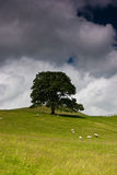 Tree in Yorkshire Dales. Tree standing alone in the field and sheep Royalty Free Stock Photos