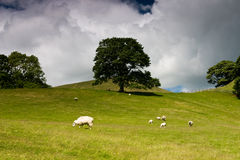 Tree in Yorkshire Dales. Tree standing alone in the field and sheep Stock Image