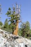 Tree in Yosemite Stock Photo