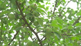 Tree with young green small apples. In full HD stock footage