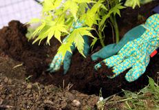 Tree young plant planting. Acer ornamental young tree planting in to the fresh garden soil with hands and gardening glove stock images