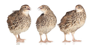 Tree young quails royalty free stock photography