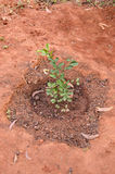 Tree young seedling in red asia soil Stock Image