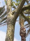 Tree young. Strange tree in ceuta  city Stock Photo