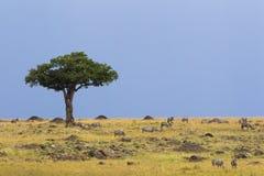 Tree and zebra herd in savanna Stock Image