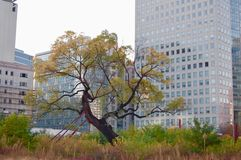 Tree Zelkova serrata as last survivor of urbanization in the m royalty free stock photography