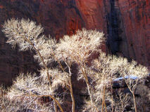 Cottonwood Tree in Zion in Winter. Cottonwood tree in Zion National Park with nice winter light stock photography