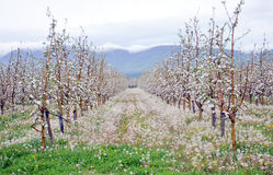 Apple orchard in spring. Pic of apple orchard in spring Royalty Free Stock Photo
