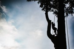 Treeclimber above tree to perform pruning and felling arboriculture stock photography