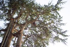 Treeclimber above tree to perform pruning and felling arboriculture royalty free stock photos
