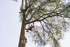 Treeclimber above tree to perform pruning and felling arboriculture stock images