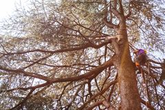Treeclimber above tree to perform pruning and felling arboriculture stock image