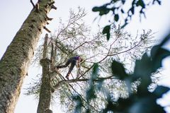 Treeclimber above tree to perform pruning and felling arboriculture stock photos