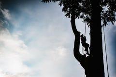 treeclimber sopra l'albero per eseguire potatura e il arboricult di abbattimento fotografia stock