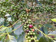 Treecofee. Coffee and coffee products that are not yet ripe Stock Image