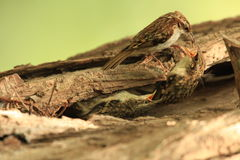 A treecreeper bird. A treecreepers chicks being fed by its parent as they poke out from behind tree bark Royalty Free Stock Photo
