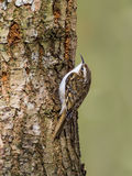 Treecreeper (Certhia familiaris) Stock Photo