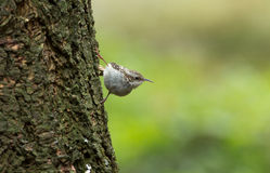 Treecreeper, Certhia familiaris Royalty Free Stock Photography