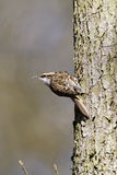 Treecreeper, Certhia familiaris Royalty Free Stock Photo