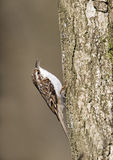 Treecreeper, Certhia familiaris Stock Photo