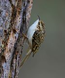 Treecreeper climbing up a tree trunk. In Abernethy Forest Royalty Free Stock Images