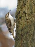 treecreeper Court-botté avec la pointe du pied Photo stock