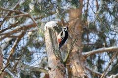 Treecreeper d'oiseau Images libres de droits