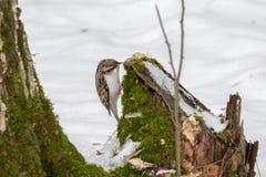 Treecreeper d'oiseau Photos stock