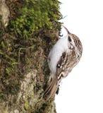 treecreeper för certhiaeurasianfamiliaris Arkivbilder