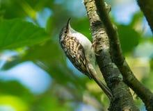 Treecreeper (familiaris Certhia) Στοκ Εικόνες