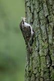Treecreeper, familiaris Certhia Στοκ φωτογραφίες με δικαίωμα ελεύθερης χρήσης