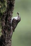 Treecreeper, familiaris di Certhia Fotografie Stock Libere da Diritti