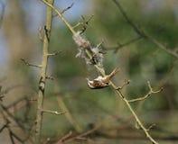 Treecreeper que recolhe o material do assentamento Fotografia de Stock