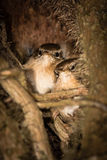 Treecreepers (Certhia americana) roosting at night close Stock Photography