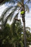 Treecut. Tree Loper using chainsaw to trim up the branches of a Palm Tree royalty free stock photo