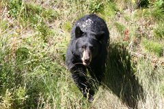 Treed by a bear. Looking down close up on a black bear in a meadow from above Stock Photos