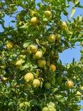 Treee лимона с много органических зрелых плодоовощей на ветви Стоковое фото RF