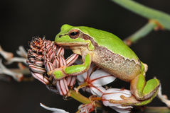 Treee frog Royalty Free Stock Photos