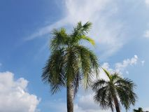 Treees ладони на яркий ясный день с белыми облаками и голубым небом Стоковые Фотографии RF