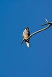 Treefalk (falcosubbuteoen) Arkivfoto
