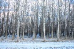 Treefarm Fotografie Stock Libere da Diritti