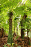 Treefern Canopy Stock Image