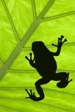 Treefrog. Silhouetted on a green leaf stock photo