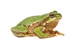 Treefrog Stock Photography