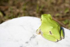 Treefrog Royalty Free Stock Photos