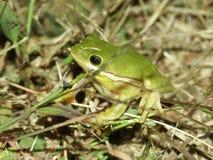 灰质的绿色雨蛙treefrog 免版税图库摄影