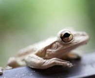 Treefrog Royalty Free Stock Photo