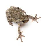 Treefrog Стоковое Изображение RF