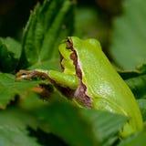 Treefrog Image libre de droits